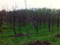 pomlađivanje voćnjaka